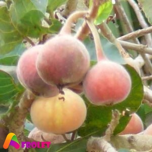 Health Benefits of Sycamore fruit in Nigeria 300x300 1