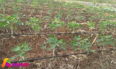 how many tonnes of cassava per acre